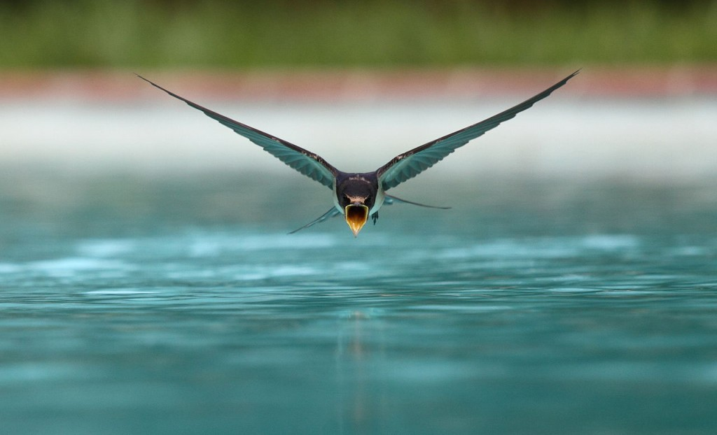 Swallow_flying_drinking