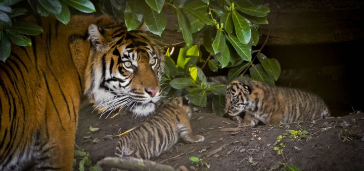 sumatran tiger and cubs at zoo - Alex Walsh wwf